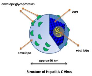 HCV_structure