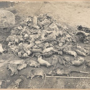 Quarantine_A-heap-of-rats-about-600_SLNSW-290x290