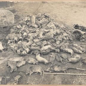 Quarantine_A-heap-of-rats-about-600_SLNSW-290x290